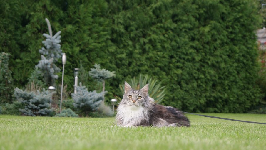 Main coon chat
